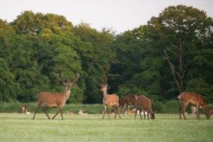Deer grazing at Long Meadow Campsite